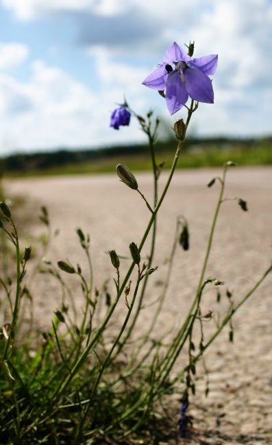 Bluebell on the road, blue, bluebell, bud, buds, campanula, flora, flower, harebell, lonely, nature, one, road, rotundifolia, photo