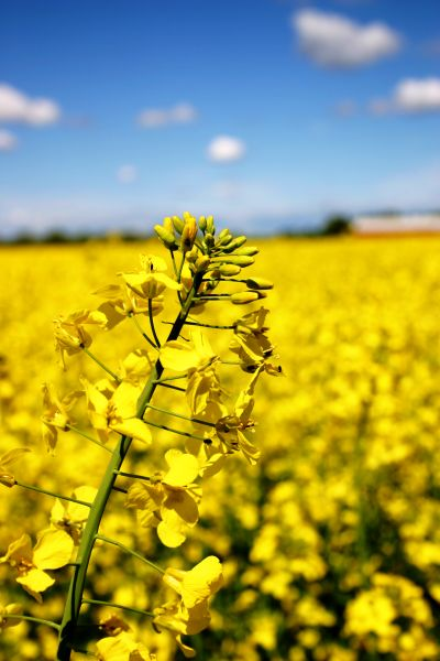Rapeseed closer look, agriculture, closeup, cloud, clouds, field, flora, flower, flowers, nature, oil, oilseed, rape, rapeseed, sky, vegetable, yellow, photo