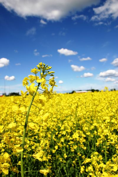 Rapeseed field in Link�ping, agriculture, cloud, clouds, field, flora, flower, flowers, nature, oil, oilseed, rape, rapeseed, sky, vegetable, yellow, photo