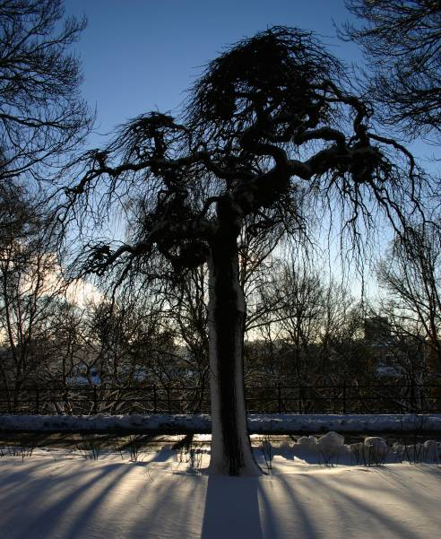 Snowy tree contour, black, contour, nature, silhouette, sky, snow, snowy, sofia, sofo, stockholm, s�dermalm, tree, vitabergsparken, winter, photo