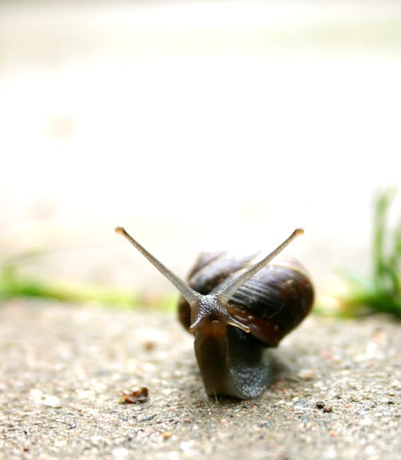 Suprised snail, animal, closeup, grey, mollusk, nature, shell, slime, slimy, slow, slowly, snail, suprise, suprised, photo