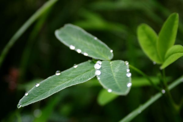 Water drops on the leaves, damp, drop, drops, flora, green, leaf, leaves, nature, rain, three, water, photo