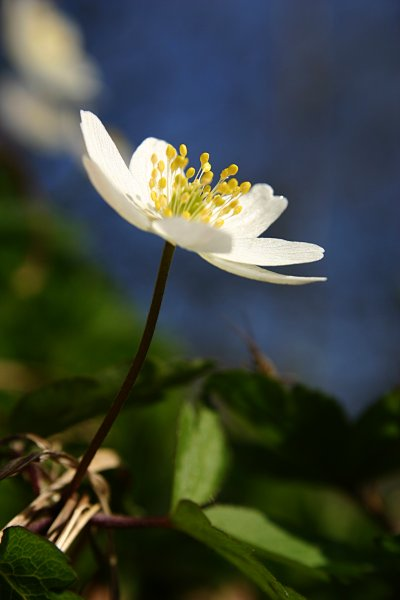Wood anemone, anemone, closeup, flora, flower, nature, nemorosa, spring, white, wood, yellow, photo