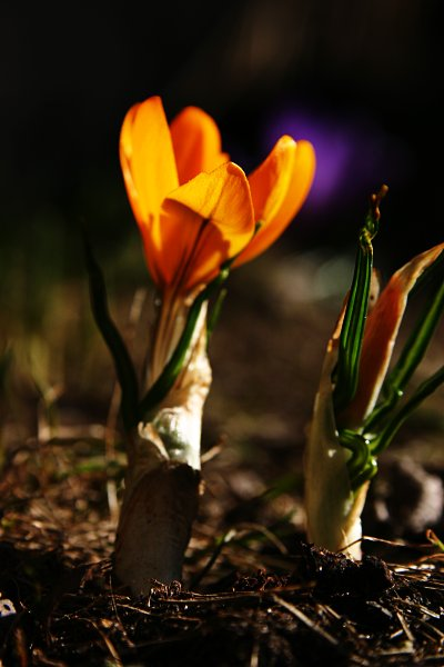 Yellow crocus in the afternoon sun, closeup, crocus, flora, flower, nature, spring, yellow, photo