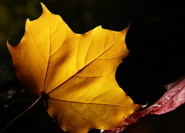 Yellow maple leaf, autumn, backlight, flora, leaf, leaves, maple, nature, structure, yellow, photo