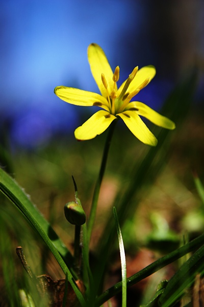 Yellow Star-of-Bethlehem, bethlehem, closeup, flora, flower, gagea, lutea, nature, spring, star, yellow, photo